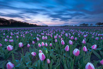 Tulip Sunset Art Print by Ron Buist