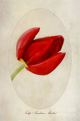 Tulip Tambour Maitre Art Print by John Edwards