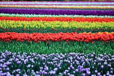 Photograph - Tulip Tiers by Benjamin Yeager