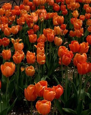 Photograph - Tulip Time by Caroline Stella