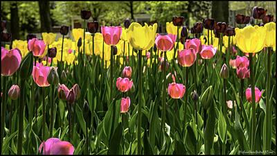 Photograph - Tulip Time Pink Yellow Black Beauty by LeeAnn McLaneGoetz McLaneGoetzStudioLLCcom