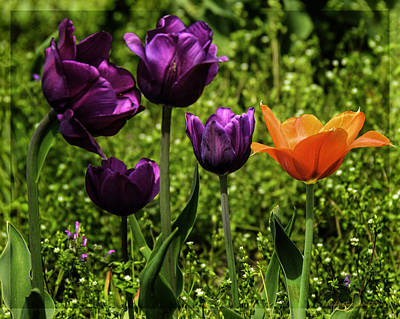 Photograph - Tulip Time Purple And Orange by LeeAnn McLaneGoetz McLaneGoetzStudioLLCcom