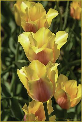 Photograph - Tulip Time Yellow Orange Trio by LeeAnn McLaneGoetz McLaneGoetzStudioLLCcom