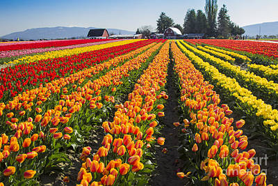 Photograph - Tulip Town by Sonya Lang