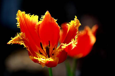 Photograph - Tulip Treasures by Karen Scovill