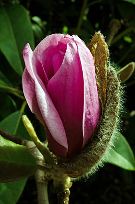 Photograph - Tulip Tree Bud by Tikvah's Hope