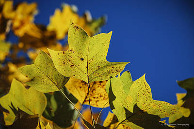 Art Print featuring the photograph Tulip Tree In Autumn by Phil Abrams