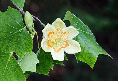 Photograph - Tulip Tree by Jim Zablotny
