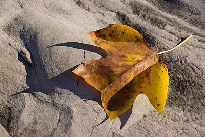 Tulip Tree Leaf - Shadow And Light Art Print