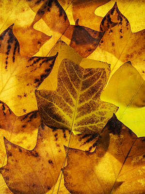 Photograph - Tulip Tree Leaves In Autumn by Vishwanath Bhat