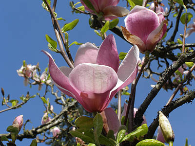 Photograph - Tulip Tree by Tikvah's Hope