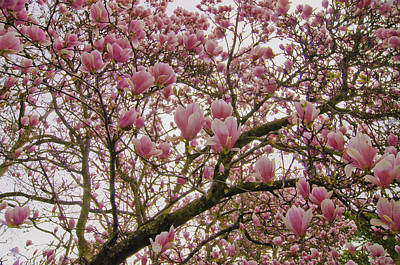 Photograph - Tulip Tree by Sherri Meyer