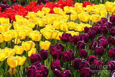 Firefighter Patents Royalty Free Images - Tulip Tri-Color - Mount Vernon Washington  Royalty-Free Image by Tap On Photo