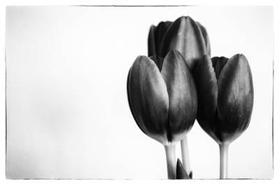 Tulip Trio Art Print by Shelly Gunderson