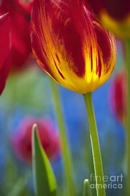 Keukenhof Gardens Photograph - Tulip Triumph Yomako Abstract by Tim Gainey