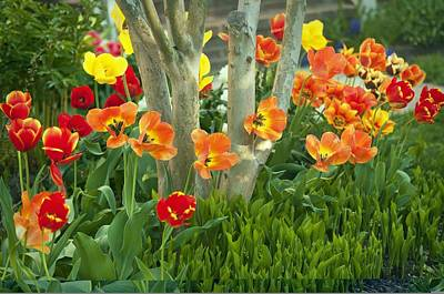 Spring Bulbs Photograph - Tulip (tulipa Sp.) by Science Photo Library