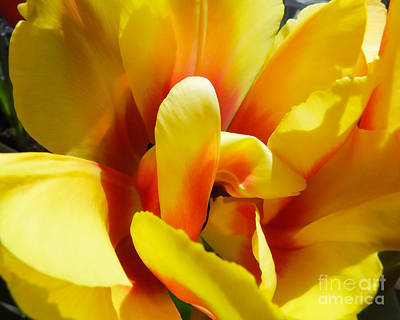 Photograph - Tulip Unfolding by Kristen Fox
