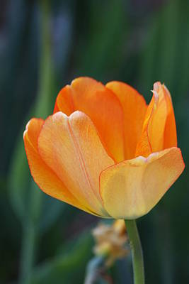 Photograph - Tulip by Vadim Levin
