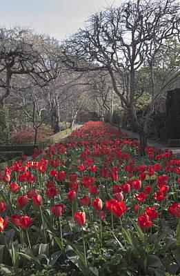 Photograph - Filoli Tulip Walk  by Patricia Dennis