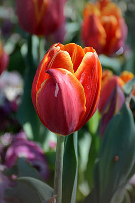 Photograph - Tulip With A Twist by Jeanne May