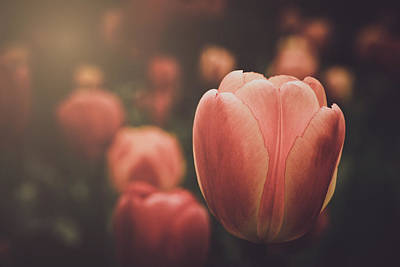 Photograph - Tulip With Instagram Retro Filter With Sunlight by Brandon Bourdages