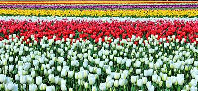 Photograph - Tulip Wonderland by Benjamin Yeager