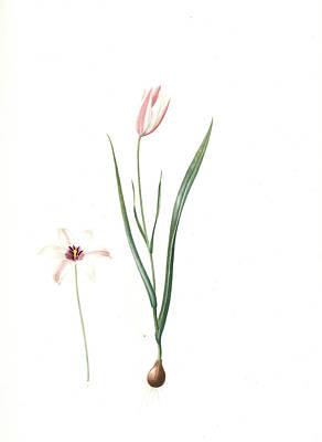 Tulips Drawing - Tulipa Clusiana, Tulipe De Lecluse, Lady Tulip by Artokoloro