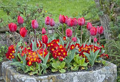 Stone Trough Photograph - Tulipa 'couleur Cardinal' And Primula Sp by Carol Casselden