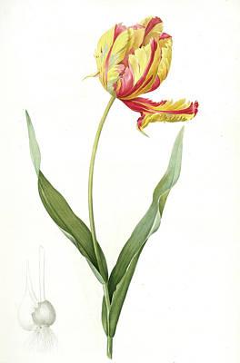 Tulips Drawing - Tulipa Gesneriana Var. Dracontia by Artokoloro