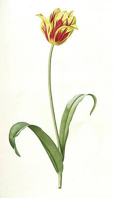 Tulip Drawing - Tulipa Gesneriana Var. Luteo-rubra by Artokoloro
