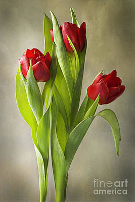 Spring Bulbs Photograph - Tulipa by Jacky Parker