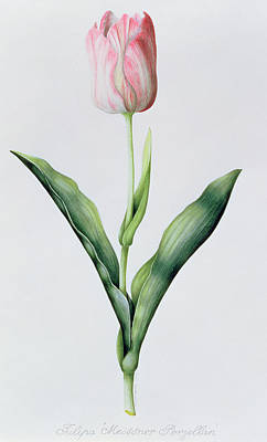 Triumphing Painting - Tulipa Meissner Porgellan by Sally Crosthwaite
