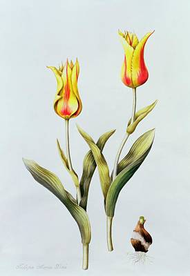 Tulipa Mona Lisa Art Print by Sally Crosthwaite
