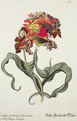 Tulip Drawing - Tulipa Monstrosa Rubra Maior by Johann Wilhelm Weinman
