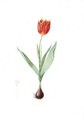 Tulips Drawing - Tulipa Suaveolens, Tulipe Odorange Duc Van Thol Tulip by Artokoloro