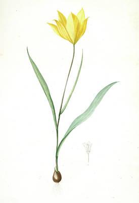 Tulip Drawing - Tulipa Sylvestris, Tulipa Sauvage, Wild Tulip Woodland Tulip by Artokoloro