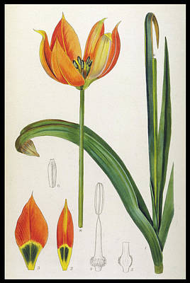 Tulip Drawing - Tulipa Whittallii Or Orange Tulip by Mary Evans Picture Library