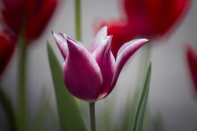 Wv Photograph - Tulip 2 by Howard Tenke