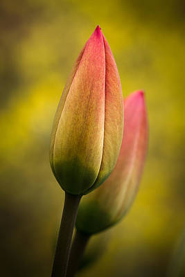 Tulips 1a Art Print by Peter Scott