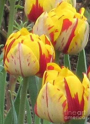 Photograph - Tulips-2 by Kathie Chicoine