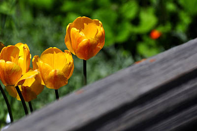 Jerry Sodorff Royalty-Free and Rights-Managed Images - Tulips 5987 by Jerry Sodorff