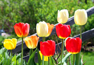 Photograph - Tulips Aglow by James Hammen