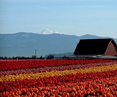 Tulips And Barn 2 Art Print