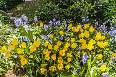 Tulips And Bluebells Art Print by Gary Cowling