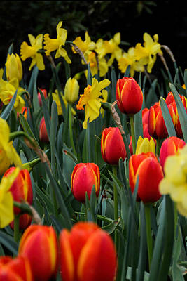 Photograph - Tulips And Daffodils by Jeanne May