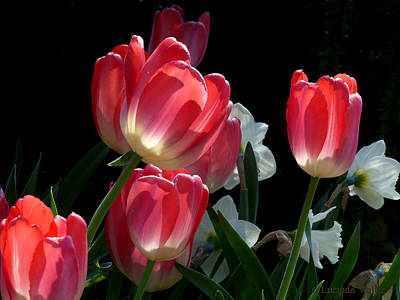 Photograph - Tulips And Daffodils by Lucinda Walter