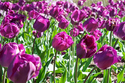 Maryland Photograph - Tulips At Sherwood Gardens, Baltimore by Panoramic Images
