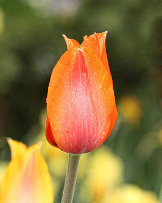 Photograph - Tulips At Thanksgiving Point - 20 by Ely Arsha