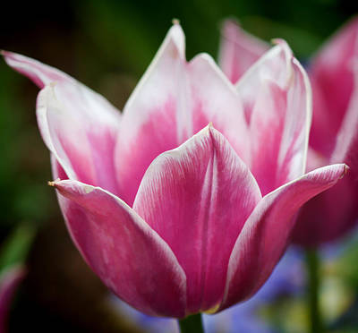 Photograph - Tulips At Thanksgiving Point - 29 by Ely Arsha
