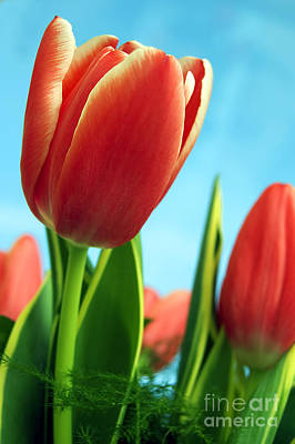 Vision Photograph - Tulips Background by Michal Bednarek